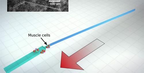 mikroskobiki_organizma